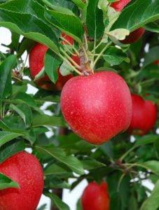 Fruit Tree Image