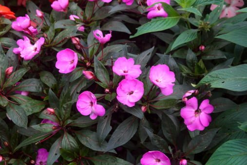 What is the difference between regular impatiens and new for New guinea impatiens