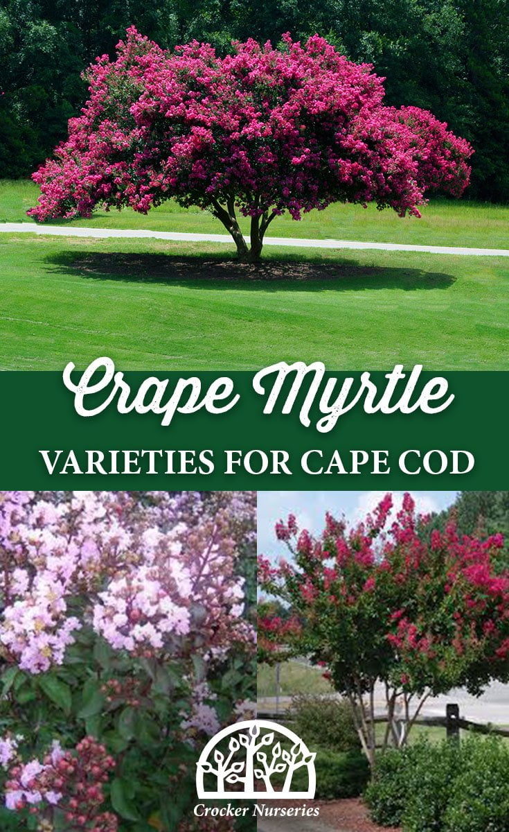 Crape Myrtle Varieties for Cape Cod - Crocker Nurseries