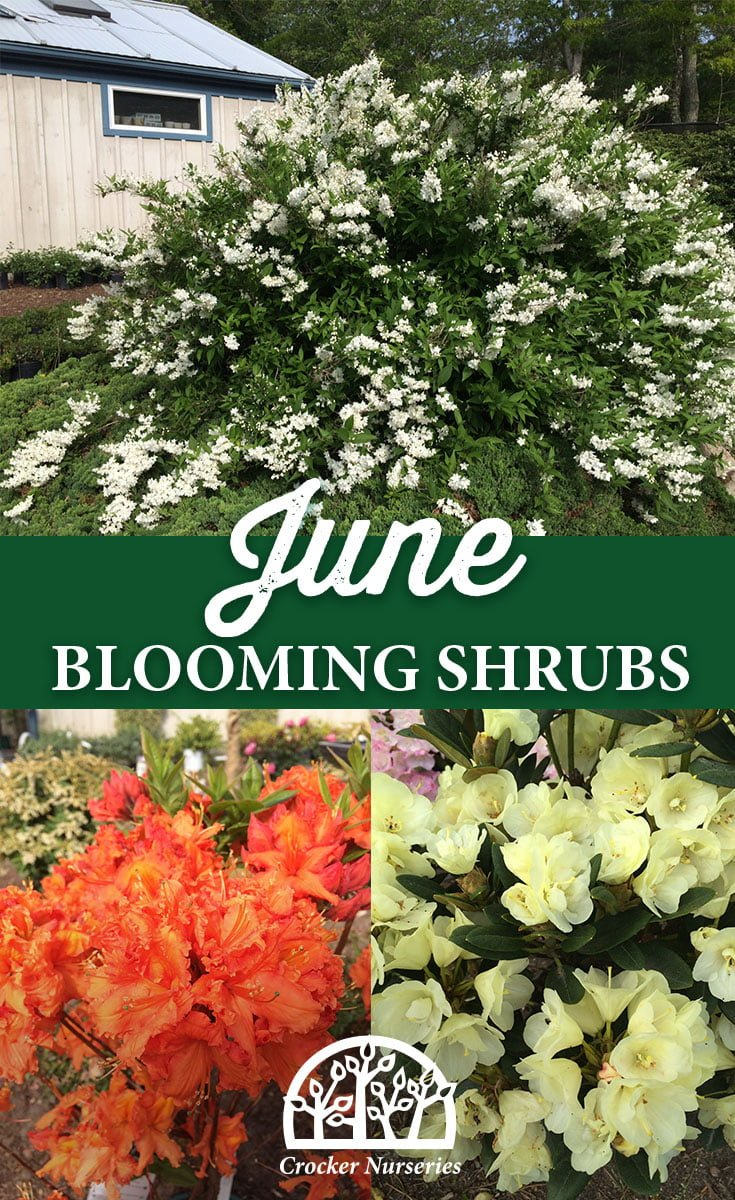 June Blooming Shrubs - Crocker Nurseries