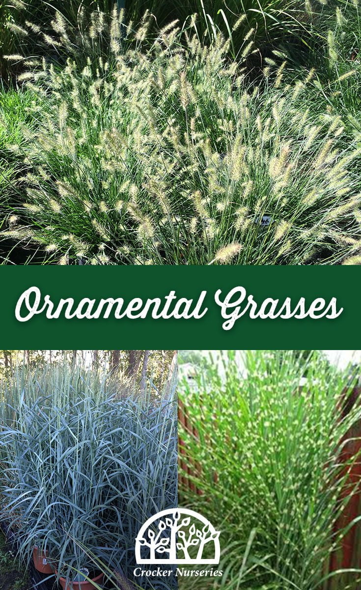 Ornamental Grasses - Crocker Nurseries